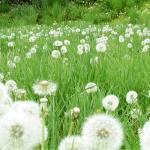 """Flower 10 Dandelion White Spring Floral Meadow Lan"" by Ricardos"