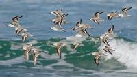 Snowy Plovers in Flight