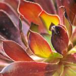 """large red and green succulent"" by wildethangs"
