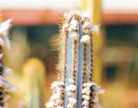 cactus with spines and fuzz balls