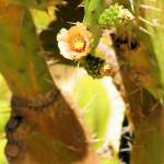 """tiny yellow flower on cacti"" by wildethangs"