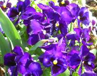 Purple Pansy