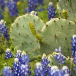 """Cactus and Bluebonnets 520"" by PaulHuchton"