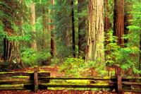 Redwood Forest 2