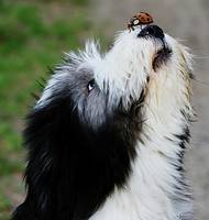 Bearded Collie with Ladybug on nose