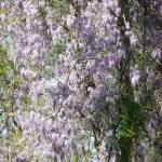 """Wisteria 169"" by photographybydonna"
