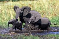 Family of elefants