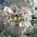 """Blossom Explosion"" by Lorraine_Sommer"