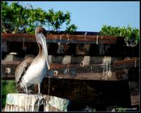 Pelican at Gasparilla Bay