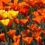 """California Poppies Panorama"" by johncorney"