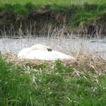 """Swan in nest."" by Natureseyes"