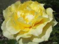Open Yellow Rose 2