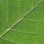 """Closeup macro shot of rose leaf"" by digitalmedia"