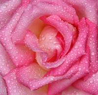 Macro shot of pink rose with rain