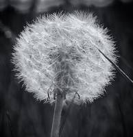 Dandelion Black White