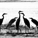 """Crane Art"" by EssentialBriezzePhoto"