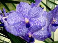 Blu Orchid