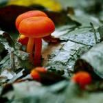 """""""Orange Mushrooms"""" by Rudderow"""