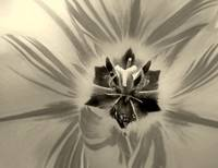 Tulip Macro In Black And White