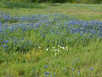 TexasBlue Bonnets
