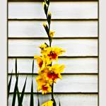 """Yellow Gladiolas"" by dbwalton"