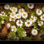 """Wild Daisies"" by dbwalton"