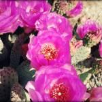 """Cactus Flowers2"" by skipjensen1"