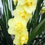 """daffodils"" by candicecruzphotography"