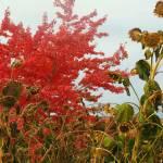 """""""!fall impressw sunflowers 36x"""" by pixelviz"""