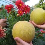 """melons, dahlias"" by pixelviz"