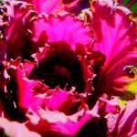 """red flowered kale"" by pixelviz"
