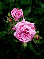 Variegated Rose with Bud