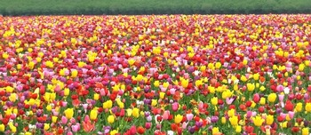 Blanket of tulips