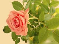 Antique Pink Rose