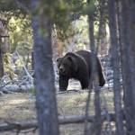 """""""Yellowstone Grizzly - The Preacher"""" by the-hole-picture"""