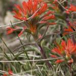 """Indian Paintbrush"" by ellcee"