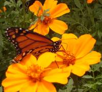 Monarch on Orange Flowers