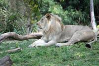African Lion 4