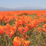 """Poppies 2 2010"" by raskoff"