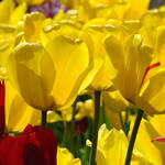 """TULIPS Garden Spring Yellow Tulip Flowers Artwork"" by BasleeTroutman"