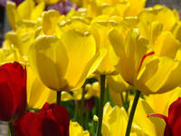 TULIPS Garden Spring Yellow Tulip Flowers Artwork