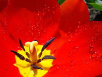 Raindrops Red Tulip Flower Close Up Spring art pri