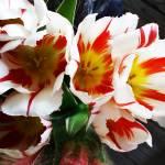 """Tulips"" by jupiterqueen"