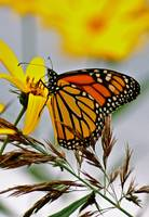 Sunday Monarch Butterfly