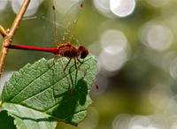 Male Autumn Meadowhawk