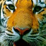 """""""Tiger Face"""" by JerseyShooter"""