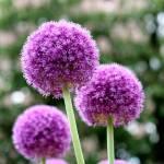 """Purple Lucy Ball Flower"" by JerseyShooter"