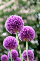 Purple Lucy Ball Flower