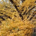 """""""Falls Gold"""" by chrisallenz"""