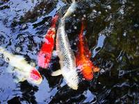 Coyfishes in the Pond